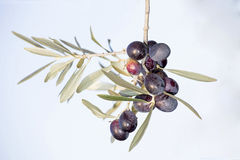 Ripe black olives on a spring Royalty Free Stock Images