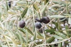 Ripe black olives on the tree Royalty Free Stock Photos