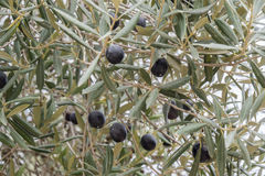 Ripe black olives on the tree Stock Photos