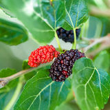 Ripe black and red berries on blackberry tree Royalty Free Stock Photos