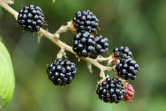 Ripe blackberries. On the branch waitting to be picked and eaten Stock Images