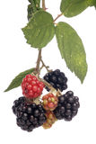 Ripe blackberries Royalty Free Stock Photo