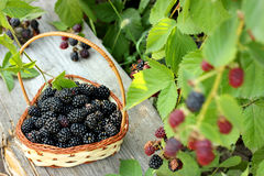 Ripe blackberries in a basket Stock Photos