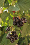 Ripe blackberries bunch. Ripe blackberries in the tree stock images