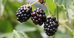Ripe blackberries on bush