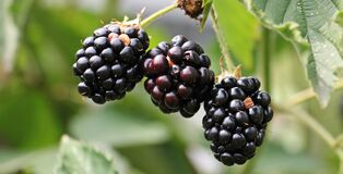 Ripe blackberries on bush Royalty Free Stock Photos
