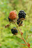 Ripe blackberries on the bush Royalty Free Stock Photos