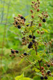 Ripe blackberries on the bush Stock Photography