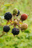 Ripe blackberries on the bush. In the garden Royalty Free Stock Images