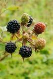Ripe blackberries on the bush Royalty Free Stock Images