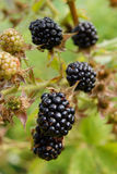 Ripe blackberries on the bush Stock Images