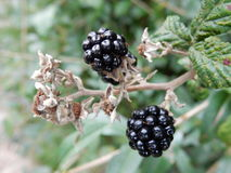 Ripe blackberries Stock Images