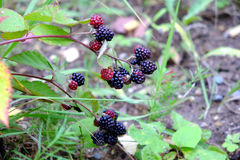 Ripe blackberries are hanging on branch outdoor closeup Royalty Free Stock Photography