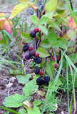 Ripe blackberries are hanging on branch outdoor closeup Stock Image