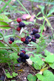 Ripe blackberries are hanging on branch outdoor closeup Stock Photos