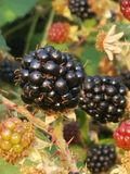 Ripe Blackberries in Portland, OR stock photos