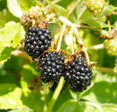 Ripe blackberry on a branch Royalty Free Stock Photos