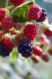 Ripe blackberry bush Royalty Free Stock Photography