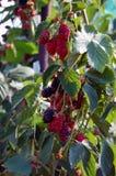 Ripe blackberry bush Stock Photography