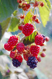 Ripe blackberry bush Royalty Free Stock Images