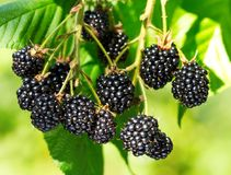 Ripe blackberry in a garden stock images
