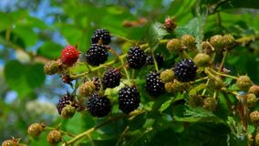 Ripe blackberry hang on branches in the rain. Bush branches is juicy ripe blackberry. Ripe blackberry hang on branches in the rain stock video footage