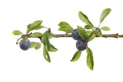 Ripe blackthorn fruit. Blackthorn, Prunus spinosa, sloes and foliage isolated against white Royalty Free Stock Images