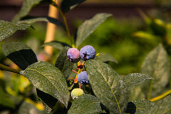 Ripe bluberry Stock Photo