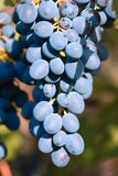 Ripe blue appetizing grape. Royalty Free Stock Image
