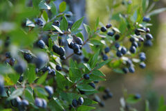 Ripe blue berries on myrtle branches Stock Photos
