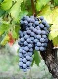 Ripe blue grape Royalty Free Stock Image