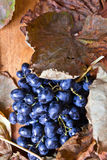 Ripe blue grape Stock Images