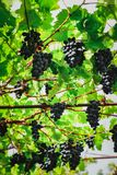Ripe blue grapes in the arbor stock images