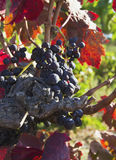 Ripe blue grapes Stock Images