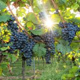 Ripe blue grapes hang in the backlight of the sun on the bush royalty free stock images
