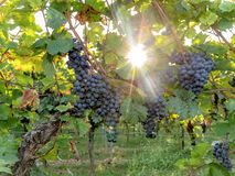 Ripe blue grapes hang in the backlight of the sun on the bush royalty free stock photos