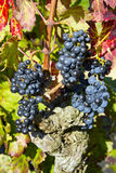 Ripe blue grapes Royalty Free Stock Photo