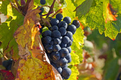 Ripe blue grapes Royalty Free Stock Images
