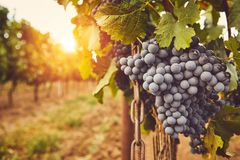 Blue grapes on vine at sunset stock images