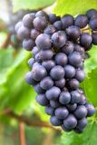 Ripe blue grapes in a vineyard Royalty Free Stock Images