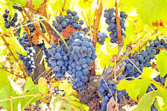Ripe blue grapes in a vineyard in Portugal Royalty Free Stock Photo