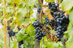 Ripe blue grapes in the vineyard Royalty Free Stock Images