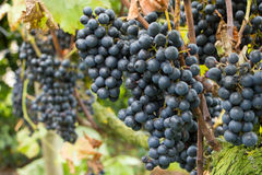 Ripe blue grapes in the vineyard Royalty Free Stock Photography