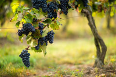 Ripe blue grapes in the vineyard Stock Image