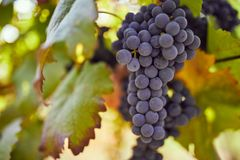 Ripe blue grapes in the vineyard. Toned image royalty free stock photos