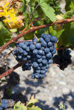 Ripe blue grapes before Vintage Stock Photography