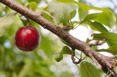 Ripe blue plum. Stock Images