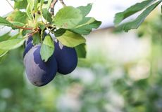 Ripe blue plums grow on an tree in the garden stock photo
