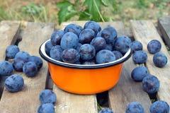 Ripe blue plums in metal orange bowl closeup Stock Photo