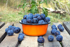 Ripe blue plums in metal orange bowl closeup Royalty Free Stock Image